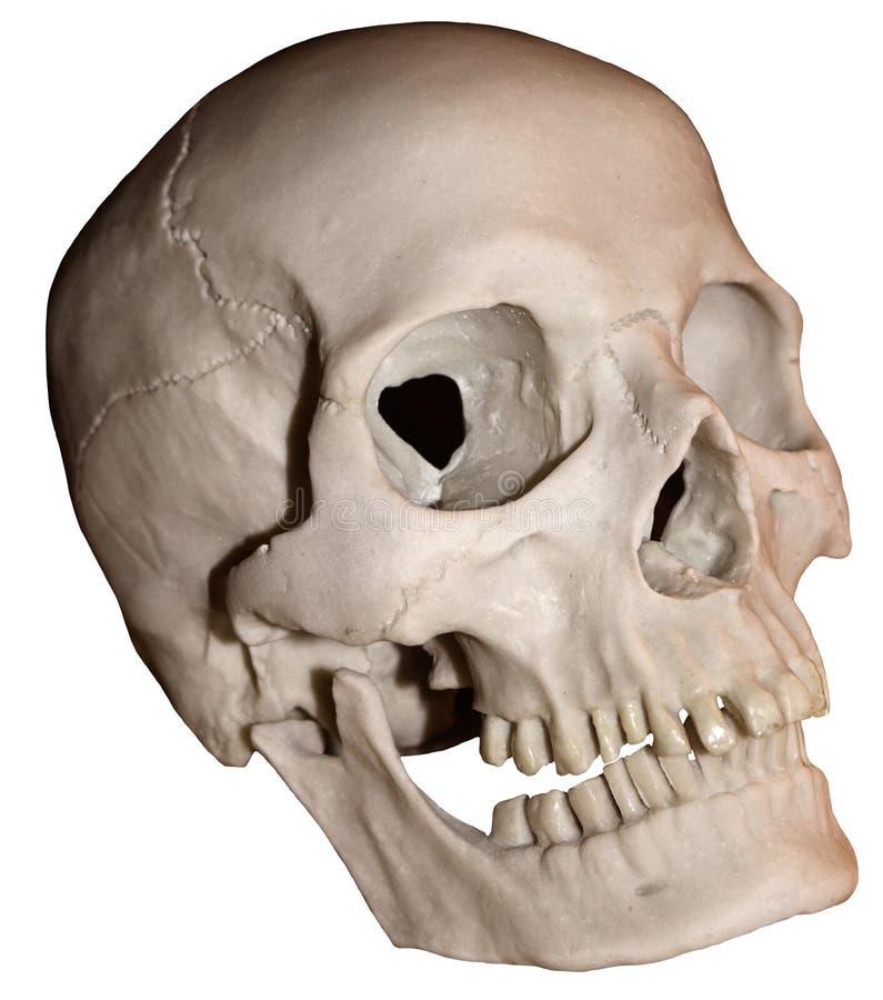 Crânio um imagens de stock