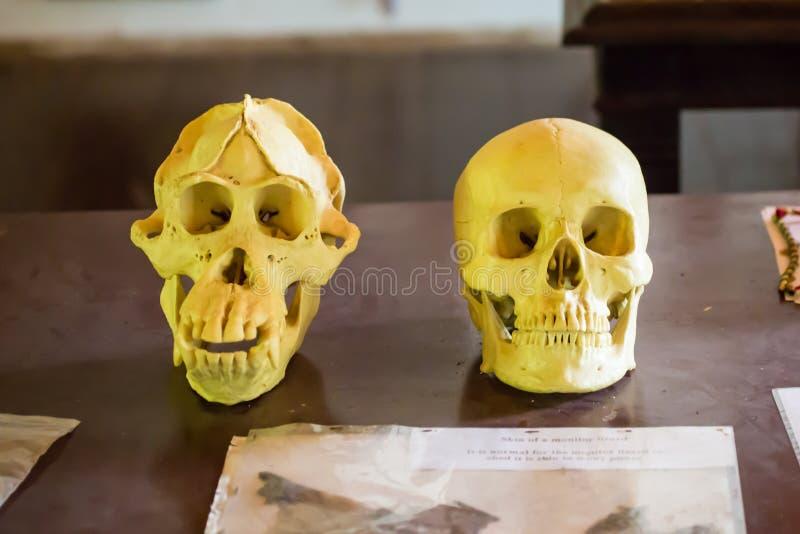 Crânios do ser humano e do orangotango a floresta em Bornéu fotografia de stock royalty free