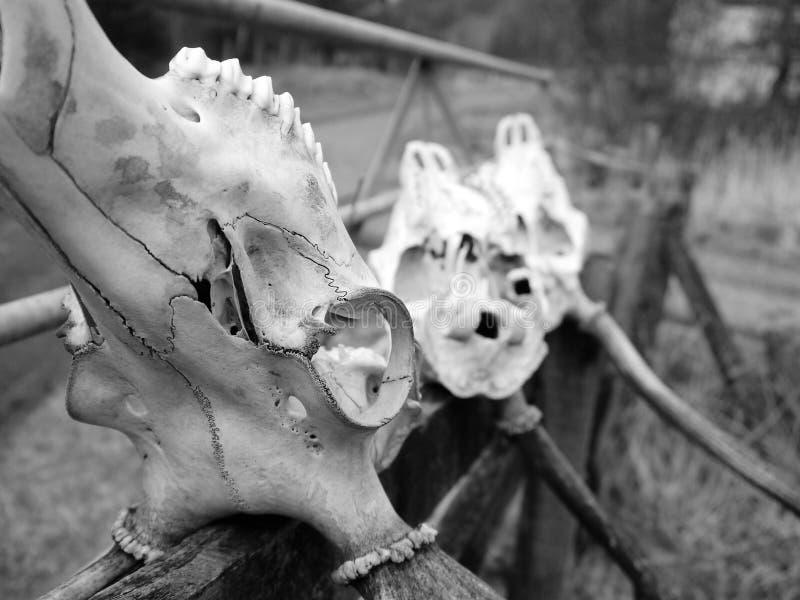 Crânios dos cervos imagens de stock royalty free