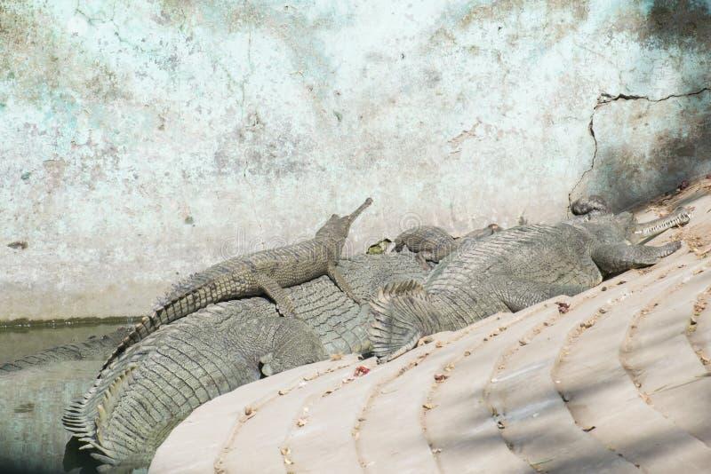 Crèche de crocodile d'alligator de Gharial images libres de droits