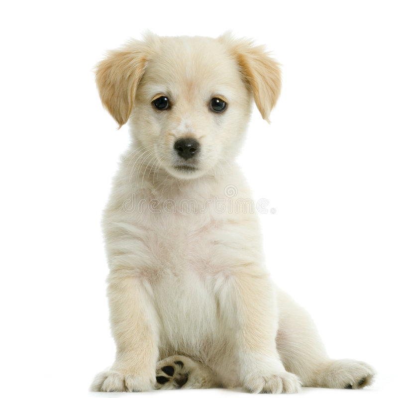 Crème de chien d'arrêt de Labrador photo libre de droits