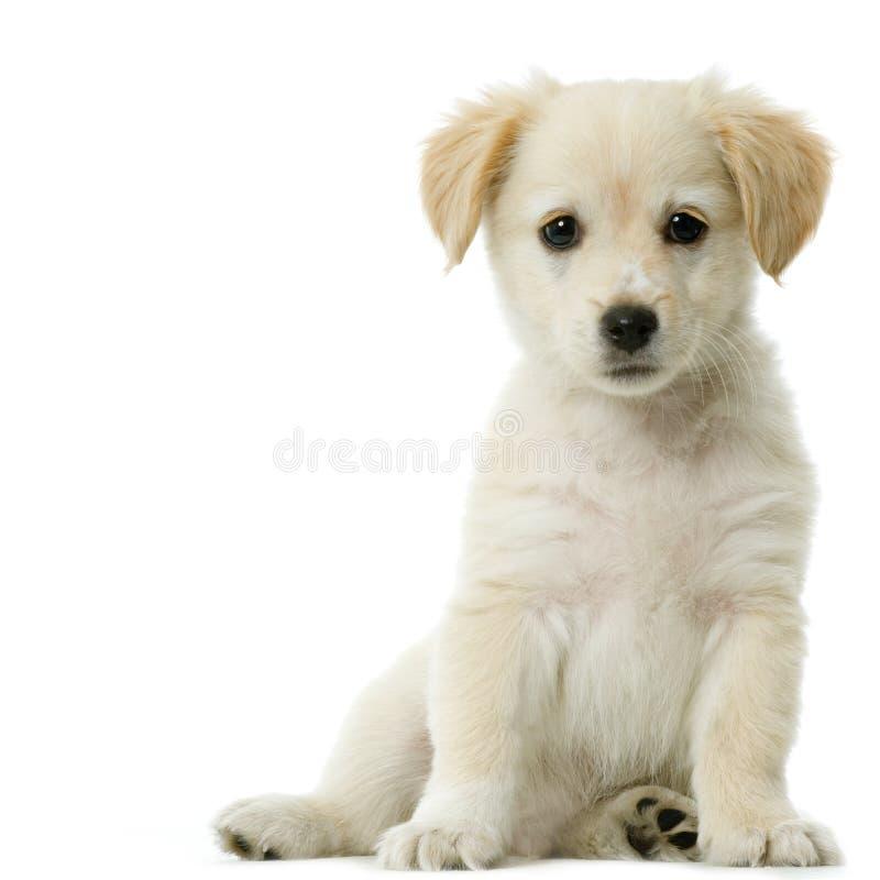 Crème de chien d'arrêt de Labrador photographie stock