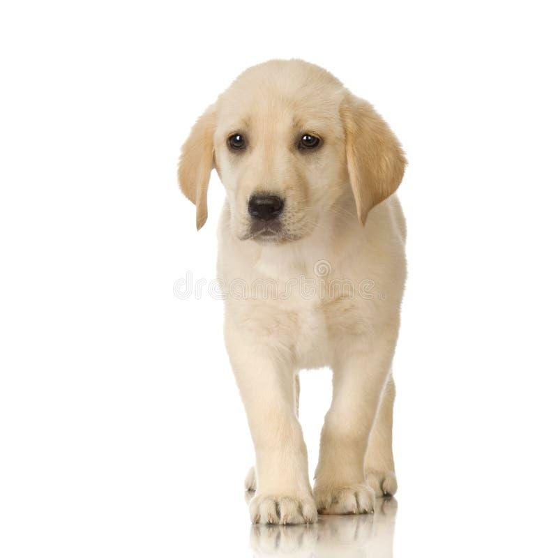 Crème de chien d'arrêt de Labrador images libres de droits