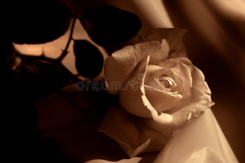 Crème Rose sur le satin photos stock