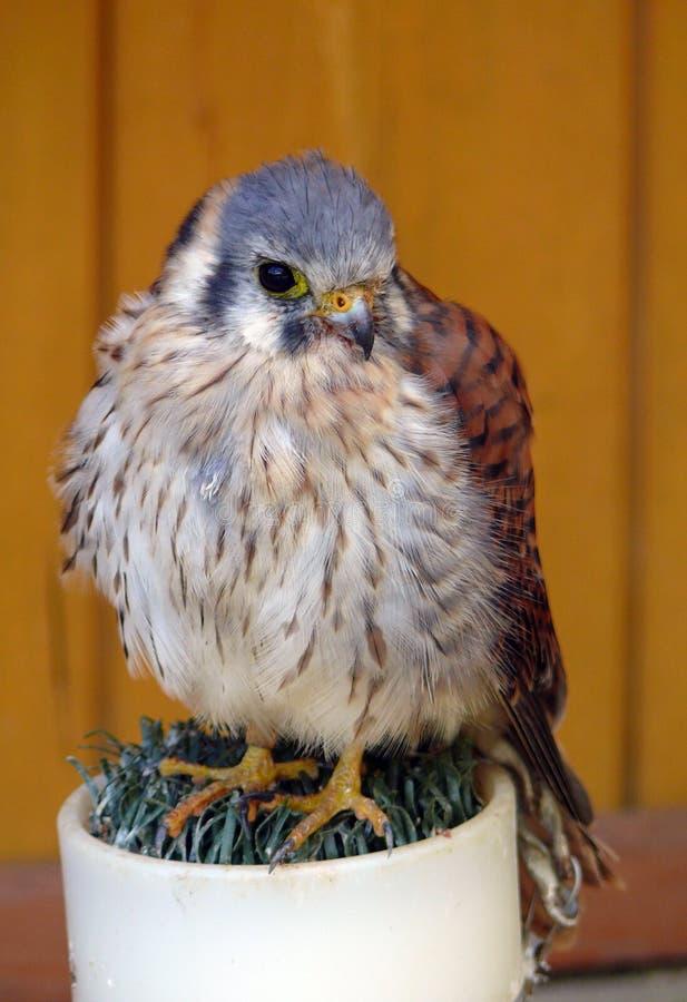 Crécerelle américaine (Falco Sparverius) image libre de droits