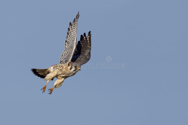 Crécerelle américaine (sparverius de Falco) en vol image libre de droits