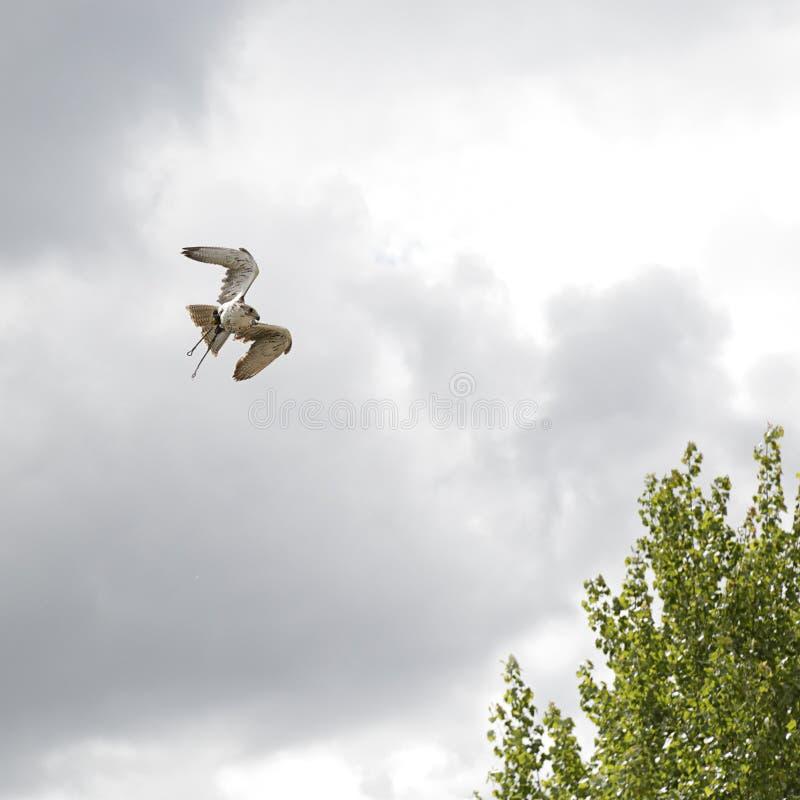 Crécerelle commune et x28 ; Tinnunculus& x29 de Falco ; voler photo stock