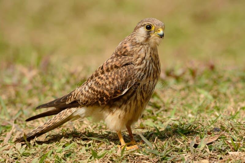 Crécerelle commune (tinnunculus de Falco) photo stock