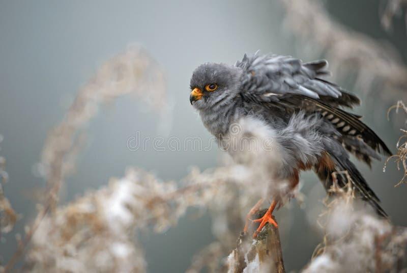crécerelle Rouge-aux pieds - vespertinus de Falco photo stock