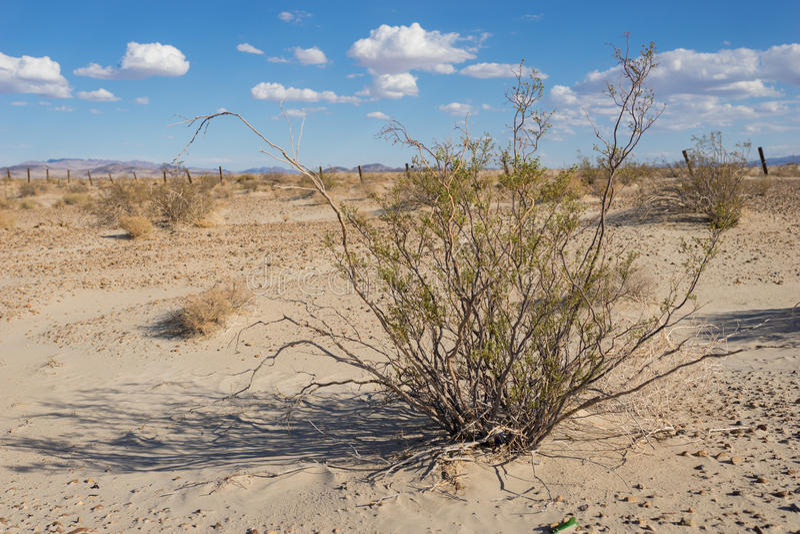 Créosote Bush grande dans le désert photos libres de droits