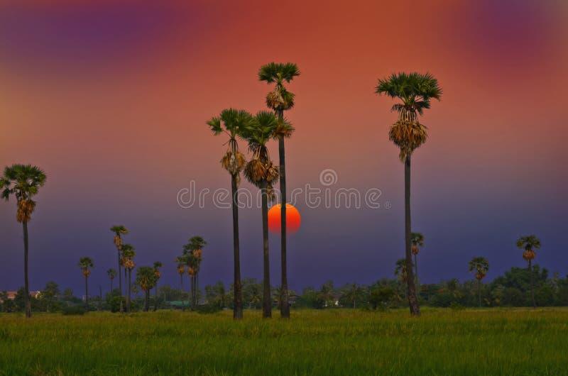 Crépuscule au-dessus du champ avec le vieux palmier à sucre images libres de droits