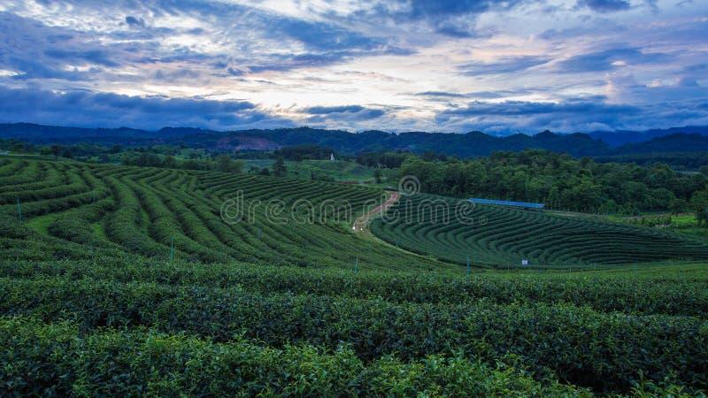 Crépuscule sur des plantations de thé, Thaïlande images stock
