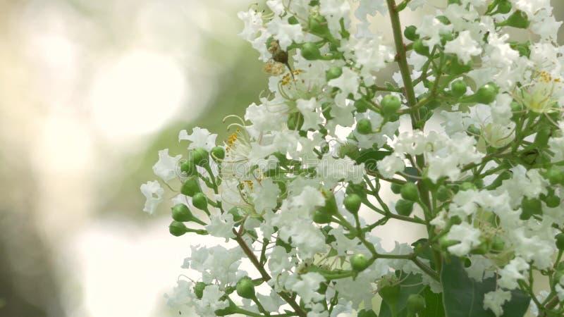 Crêpe bianco Myrtle Flowers Bloom il bello giorno, 4K archivi video