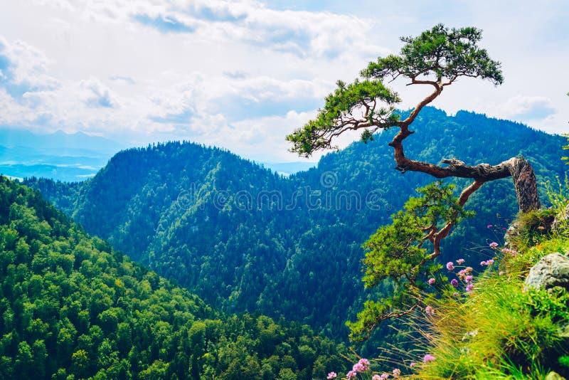 Crête de Sokolica en montagnes de Pieniny avec un pin nain célèbre à t image stock