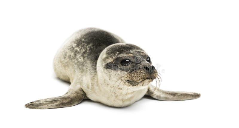 Cría de foca común, aislada imagen de archivo
