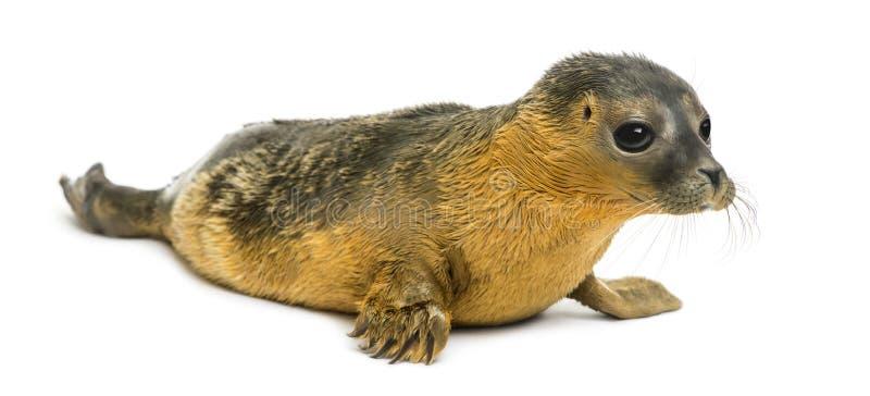 Cría de foca común, aislada fotografía de archivo