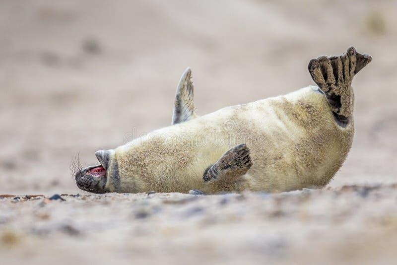 cría de foca doblada de risa fotografía de archivo libre de regalías