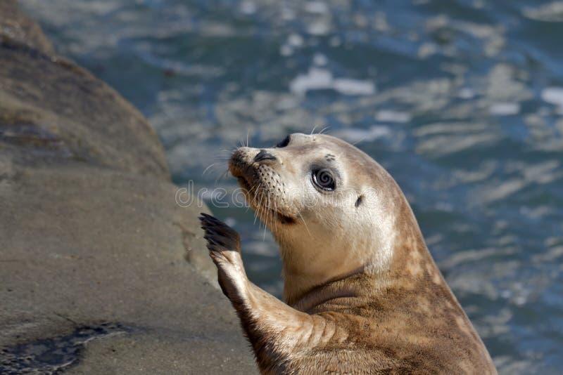 Cría de foca en La Jolla imágenes de archivo libres de regalías