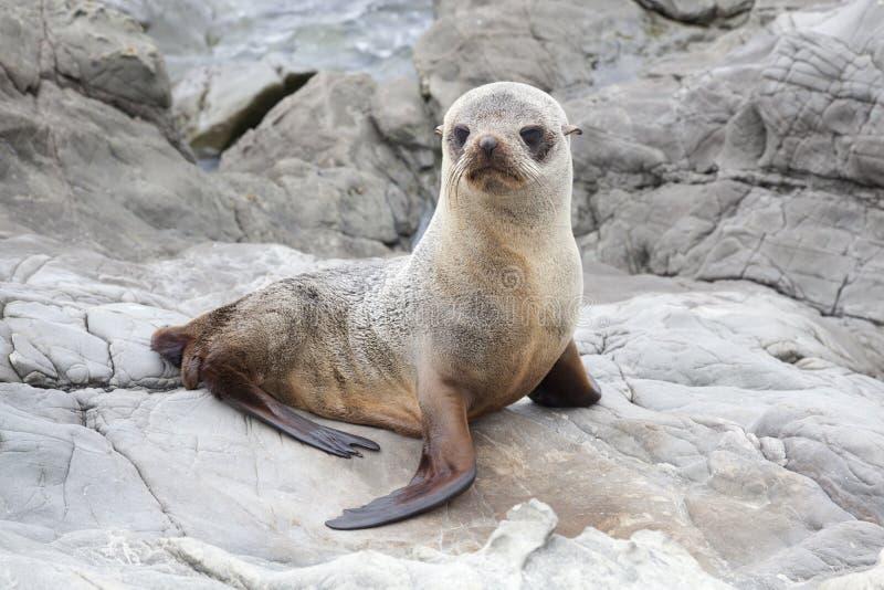 Cría de foca en las rocas de Kaikoura imagen de archivo libre de regalías