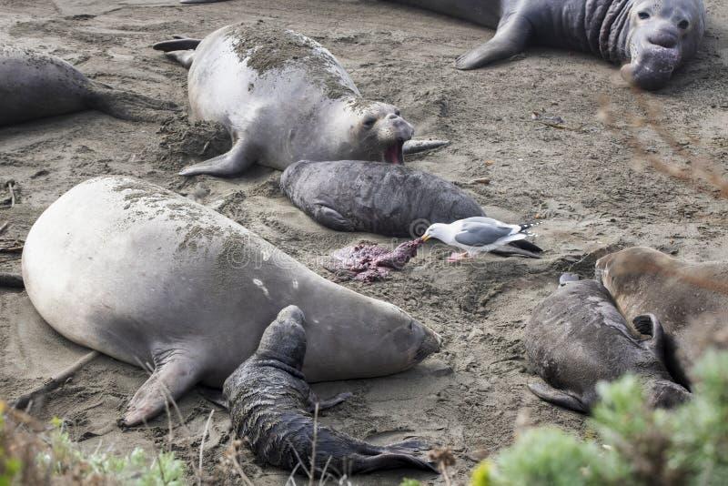 Cría de gaviotas en playa rodeada de focas elefantes del norte imagen de archivo libre de regalías