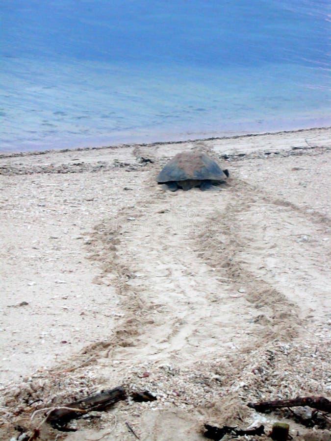 Cría de la tortuga fotografía de archivo