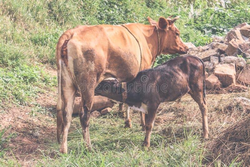 Cría de la vaca y del becerro de Brown en una pradera en un día soleado, Bhután fotografía de archivo libre de regalías