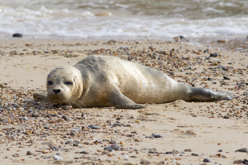 Cría del campo común o de foca de puerto que descansa sobre la playa arenosa foto de archivo libre de regalías
