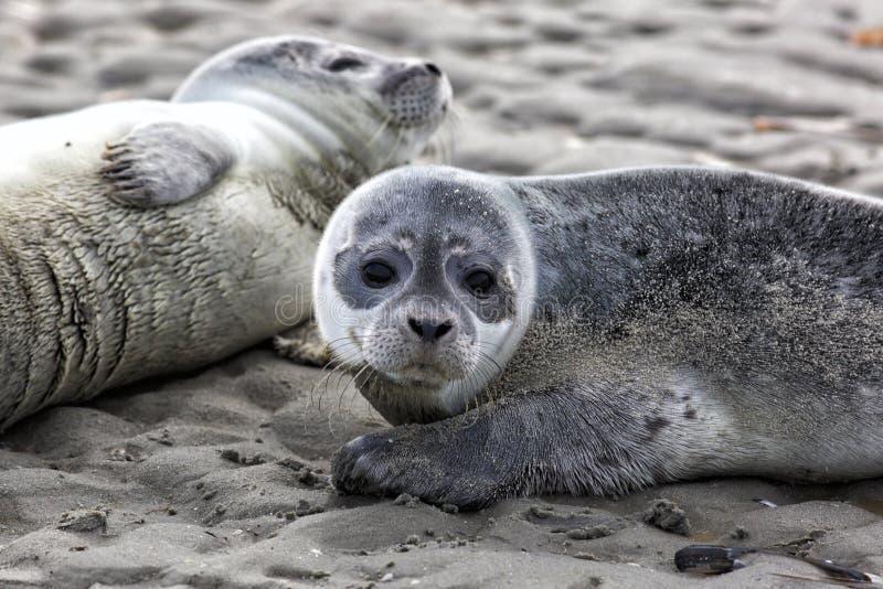 Crías de foca de puerto fotografía de archivo