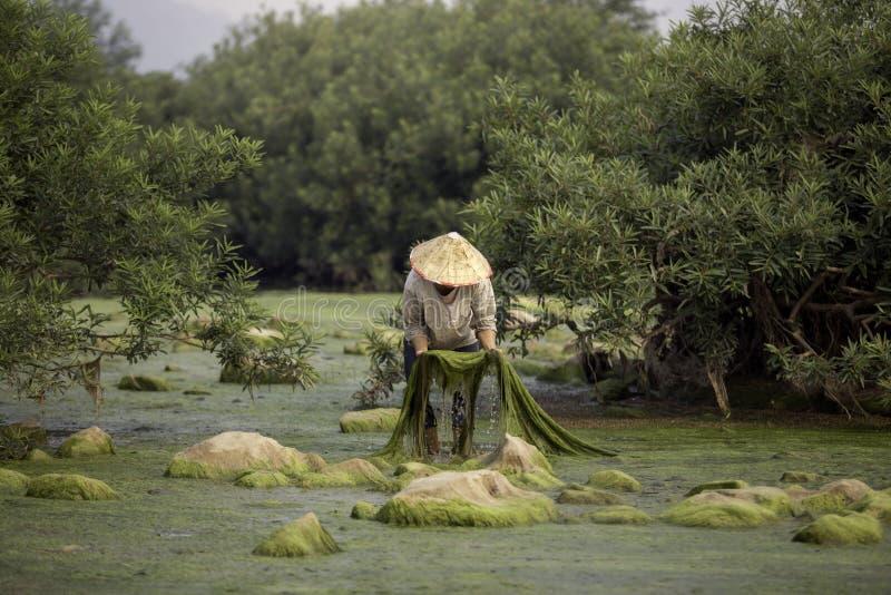 Crías de los aldeanos de agua dulce o de las algas del río Mekong fotografía de archivo