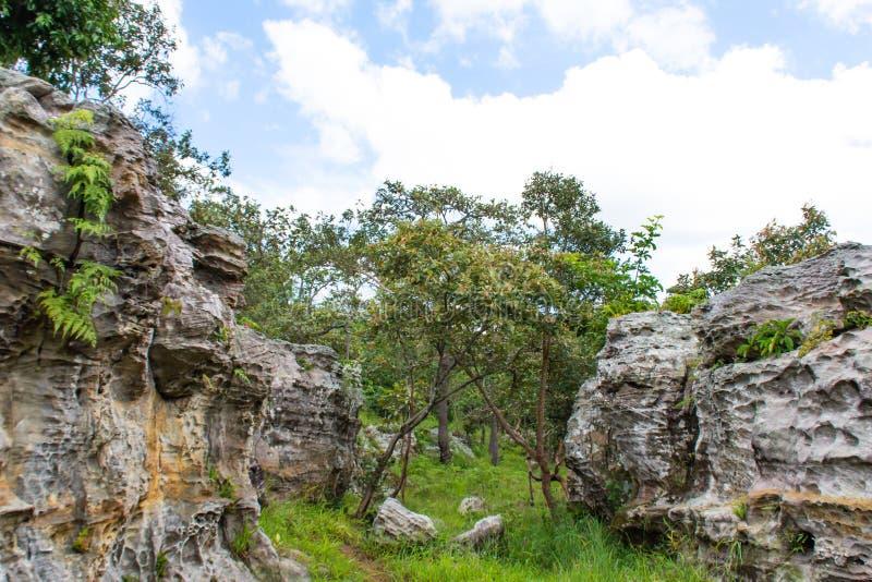 Cr van Nephrolepsisbiserrata Furcan op de stenen in tuin stock afbeelding
