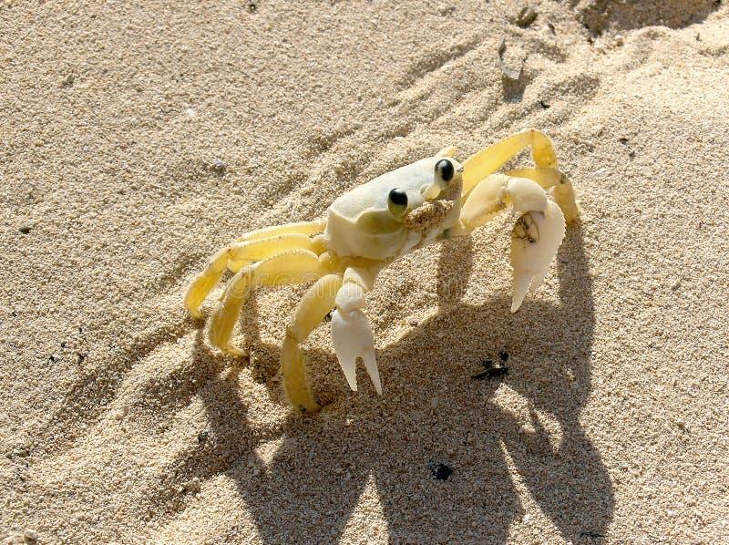 Download Crab stock photo. Image of animal, beach, sand, crab - 10530796