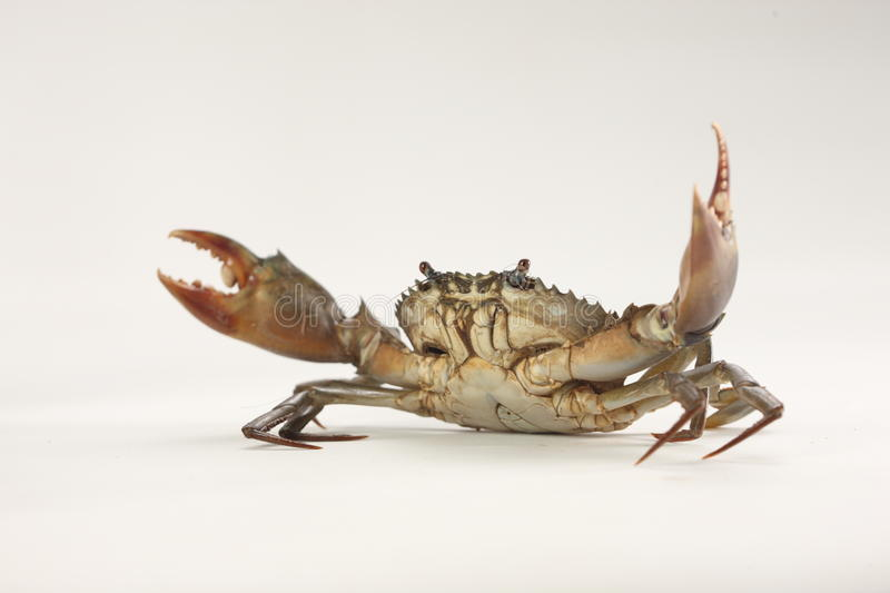 Crab. Isolated with grey background royalty free stock photography