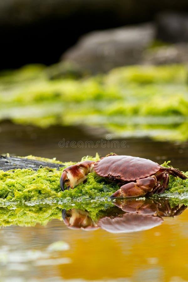 Free Crab Stock Image - 21000681