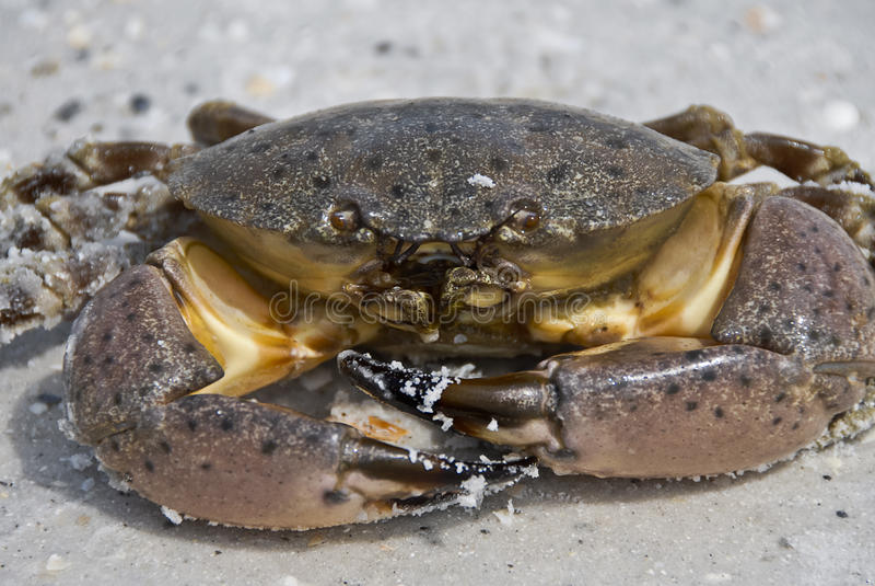 Download Crab stock image. Image of outdoor, macro, walking, legs - 21132309