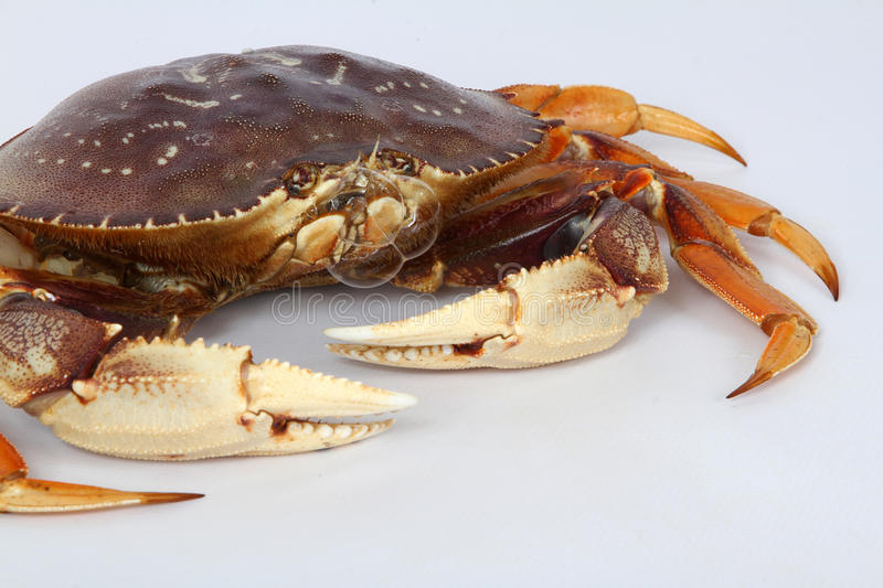 Crab. Live Dungeness Crab Blowing Bubbles royalty free stock photography