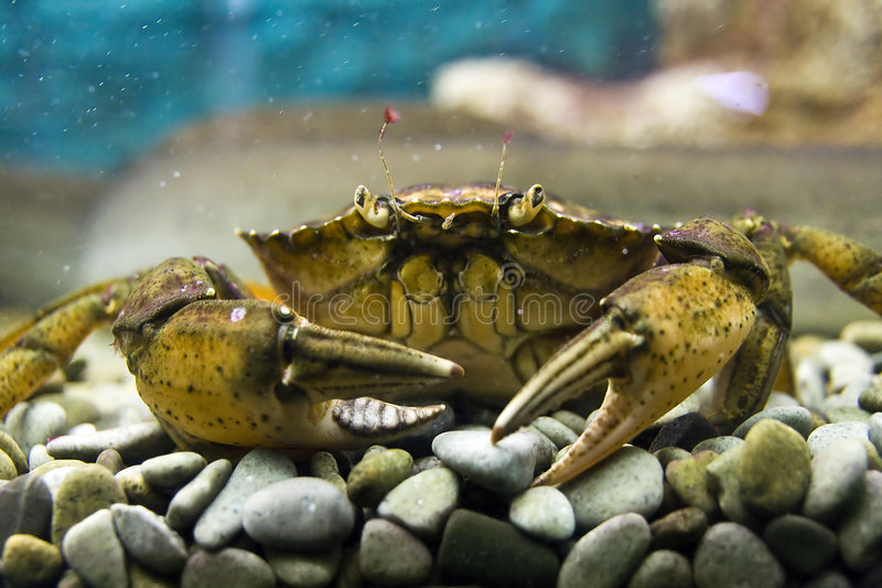The crab stock images