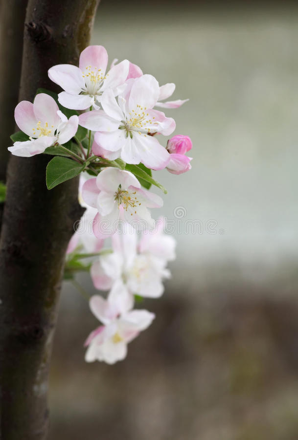 Crab-apple flowers stock image
