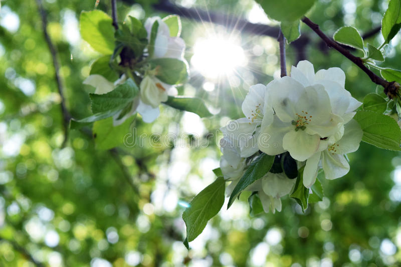 Crab apple tree blooming sunny royalty free stock photo