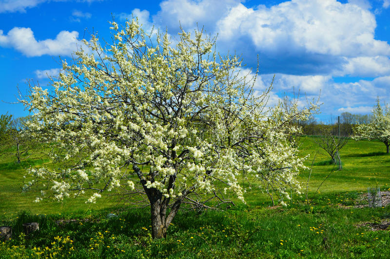 Crab Apple Tree. A crab apple tree with blossoms on a beautiful spring day with blue skies and white puffy clouds and green grass with yellow dandelions all royalty free stock photos