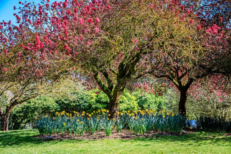 Crab apple trees with yellow lichen above a small circle of daffodils in the Arboretum in Golden Gate Park San. Crab apple trees with yellow lichen look stock photo