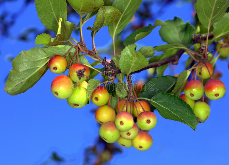 Download Crab Apples stock image. Image of growing, food, basket - 16209387