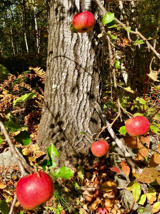 Crab apples on tree royalty free stock photo