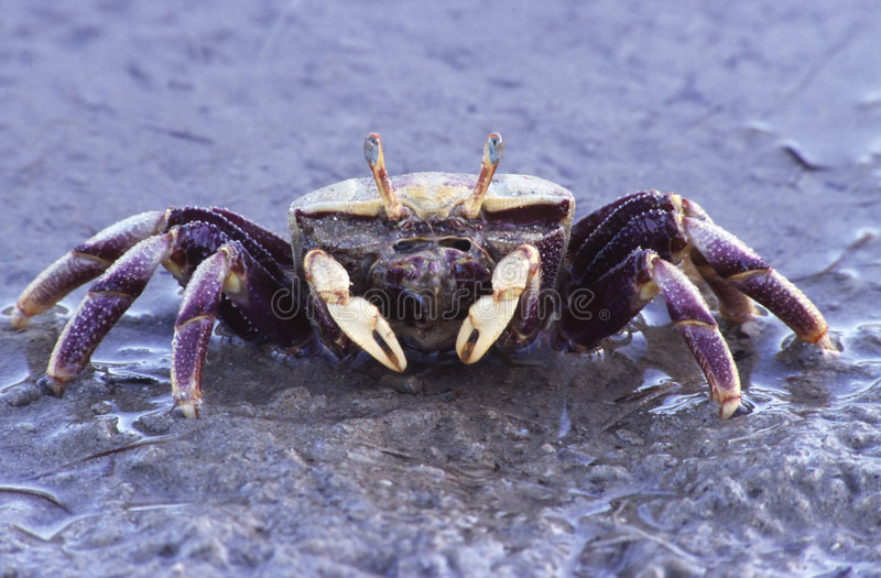 Crab on the beach royalty free stock photos
