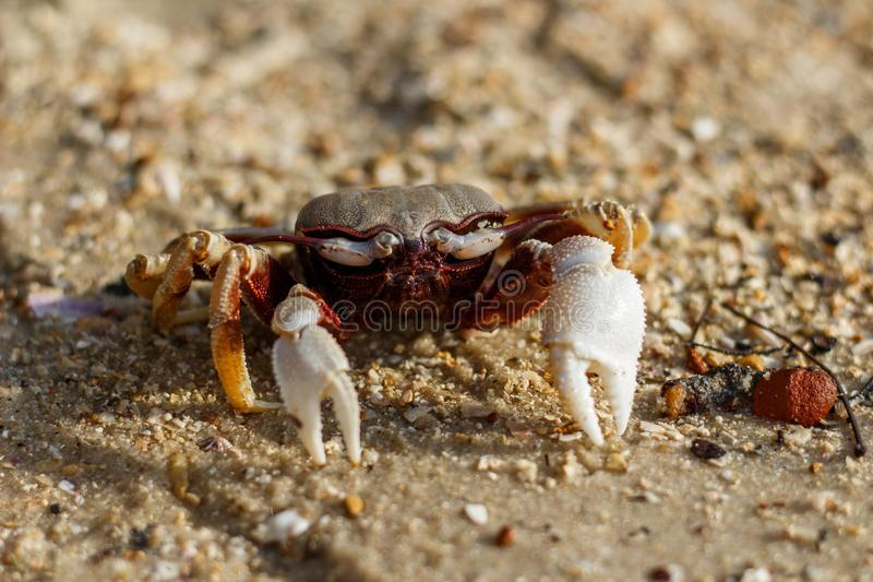 Crab on the beach in Phuket, Thailand stock photography
