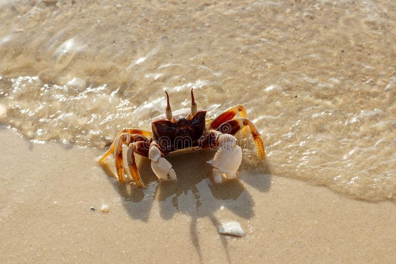 Crab on the beach in Phuket, Thailand royalty free stock photo