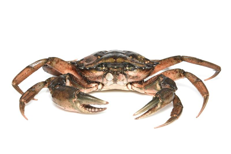 Crab. Black sea crustacean isolated on white background stock image