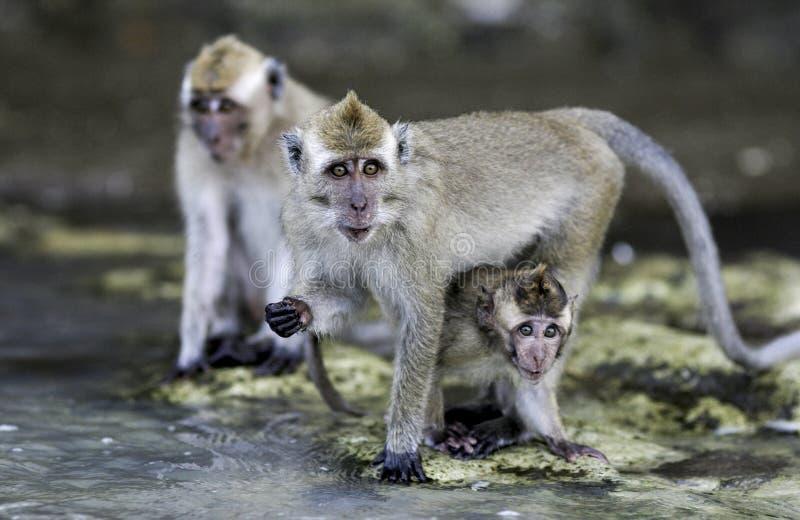 Crab comendo macacos dos fascicularis do Macaca do macaque na praia fotos de stock royalty free