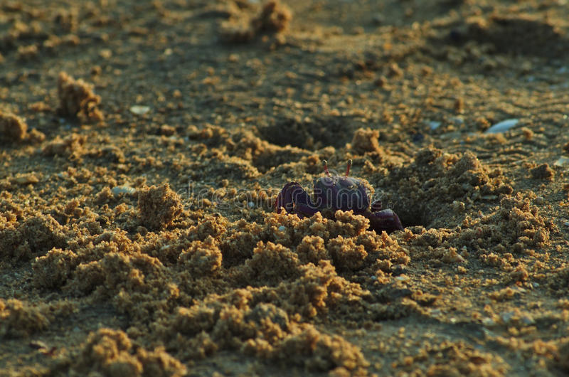 Crab coming out of the beach sand. Marine life royalty free stock photo