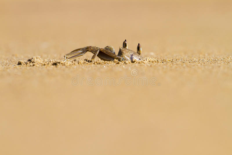 Crab digging hole in the sand. Ghost crab digging hole in the sand stock photo