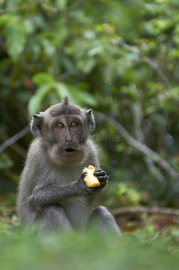 Download Crab-eating Macaque (Macaca Fascicularis) Stock Photo - Image: 26317910